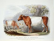 Somerset Cattle. 19th_century artwork of cows of the Sheeted Somersetshire Cattle, a breed of the domesticated cow Bos taurus. This artwork is from th...