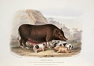 Siamese Pig. 19th_century artwork of a sow and piglets of the Siamese Pig, a breed of the domesticated pig Sus scrofa domestica. This artwork is from ...