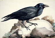 Common raven Corvus corax. Plate 28 from ´Watercolour drawings of British Animals´ 1831_1841 by William MacGillivray.