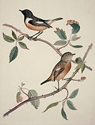 African stonechat Saxicola torquata pair. Plate 149 from ´Watercolour drawings of British Animals´ 1831_1841 by William MacGillivray.