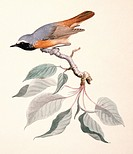 Common redstart Phoenicurus phoenicurus. Plate 168 from ´Watercolour drawings of British Animals´ 1831_1841 by Scottish naturalist William MacGillivra...