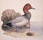 Common pochard Aythya ferina. Plate 186 from ´Watercolour drawings of British Animals´ 1831_1841 by William MacGillivray.
