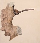 Common pipistrelle bat Pipistrellus pipistrellus. Plate 213 from ´Collection of Watercolour Drawings of British Vertebrates´ 1830_1841 by William MacG...