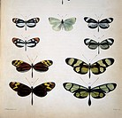 Examples of mimicry among butterflies. Artwork from ´On the lepidoptera of the Amazon Valley. Transactions of the Linnean Society´ 1862, by Henry Walt...