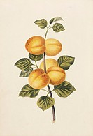 Apricots Prunus armeniaca, 19th_century artwork. This illustration is from ´Full Instructions for the Young Artist: a companion to the Treatises on Fl...