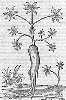 Cassava plant. 16th_century artwork of a cassava plant and roots Manihot esculenta. This plant, the root of which is edible, is native to South Americ...