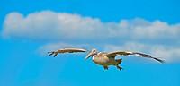 Der Flug des Pelikans