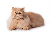 persian cat isolated on white. Persian cat portrai