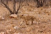 Young lion Panthera leo
