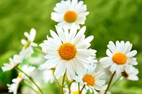 close up of white marguerite flowers in green grass