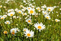 close up of white marguerite flowers in green meadow