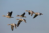 Greylag Goose Anser anser family flock in flight