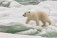 Polar bear cub Ursus maritimus carrying a piece of ice, Svalbard Archipelago, Barents Sea, Norway