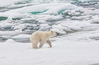Polar bear cub Ursus maritimus running over pack ice, Svalbard Archipelago, Barents Sea, Norway