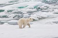 Polar bear cub Ursus maritimus running over pack ice, Svalbard Archipelago, Barents Sea, Norway