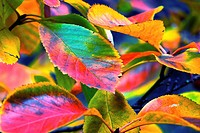 Colourful Autumn leaves in London, England