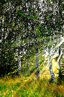 Birch grove in the sun
