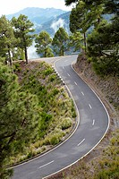 Pinus canariensis, Curves road rise to Caldera de Taburiente National Park, La Palma, Canary Islands, Spain.