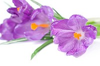 crocus bouquet with water drops isolated on white