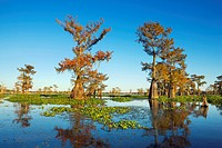 Cypress trees in autumn colors, Bayou, New Orleans, Louisiana, USA