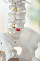 Closeup view of anatomical model of spine.