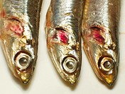 Cantabrian anchovies  Spain