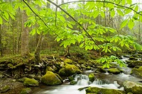 Spring, Wildflowers, Motor Nature Trail, Great Smoky Mtns NP, TN