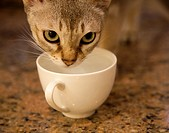 Singapura Cat drinking water from teacup