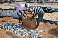 Two local fishermen packing dried fish ito a cardboard box after selling them, Negombo fish market, Sri Lanka