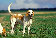White and Orange Great Anglo French Hound, Male