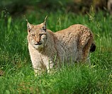 Lynx Lynx lynx, game reserve, Lower Saxony, Germany, Europe, PublicGround