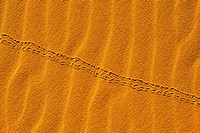 Tracks of a beetle in the sand dunes of Erg Chebbi, Sahara Desert, Morocco, Africa