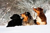 drei Australian Shepherd sitzen nebeinander im Schnee und schauen zur Seite