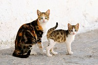 Junges Hauskaetzchen neben seiner Mutter, Katzen, Kykladen / Kitten and mother cat side by side, Cyclades, Greece