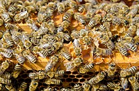 Carnica bees (Apis mellifera carnica) on the wooden frames of their honeycombs, Nuertingen, Bavaria, Germany, Europe