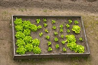 A sweet kitchen garden with lettuces growing, Old town, Dinan, Brittany, Cotes d'Armor, France