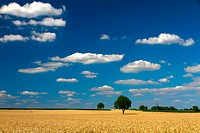 Cornfield with blue skies in Pfalz, Germany