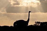 Vogel Strauß im Sonnenuntergang