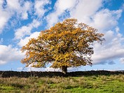 An Oak against a blue sky in autumn in the Lake District National Park near Castlerigg, Cumbria, England, united Kingdom