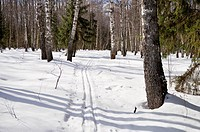 Ski track in winter birch forest