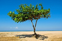 Indonesia, Bali, Sanur Beach, tree on beach
