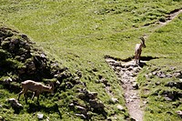 Adults ibex in Alps, Haute-Savoie, Rhône-Alpes, France.