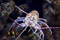 Caribbean Spiny Lobster, Panulirus argus  Camden Aquarium, Camden, New Jersey, USA