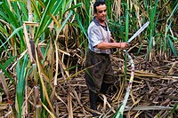A Colombian peasant cuts sugar cane in a field before processing of panela in a rural sugar cane mill trapiche in San Agustín, Colombia, 18 April 2004...