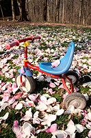 blue and red tricycle on lawn covered in fallen magnolia blossoms, one blossom on seat, Indiana