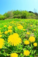 Close up of dandelions in Yokohama town, Aomori Prefecture
