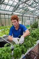 West Bloomfield, Michigan - Resident farmer at Henry Ford West Bloomfield Hospital, tends plants in the hospital´s greenhouse  The organic produce is ...