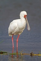 African Spoonbill Platalea alba standing in water, Lake Nakuru National Park, Kenya