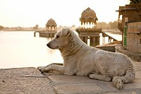Low angle view of a white dog resting at the shore at Gadi Sagar Tank near Jaisalmer, Rajasthan, India