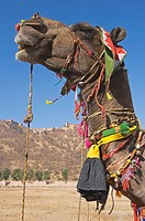 Camel in front of the Amber Palace, Town of Jaipur, Rajasthan, India